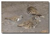 squatter-pigeons-llh-053-web-copy