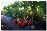 stawberries-ea-962-copy