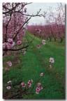 stonefruit-ev-616-copy