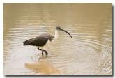 straw-necked-ibis-llf-933-web-copy