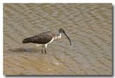 straw-necked-ibis-llg-783-web-copy