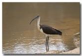 straw-necked-ibis-llg-784-web-copy