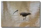 straw-necked-ibis-llg-785-web-copy