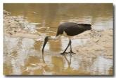 straw-necked-ibis-llg-786-web-copy