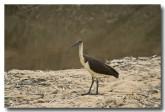 straw-necked-ibis-llg-787-web-copy