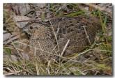 stubble-quail-llg-866-web-copy