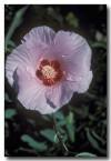 sturts-desert-rose-qb-476-copy