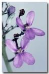 stylidium-brunonianum-pink-fountain-triggerplant-rb-526-web-copy