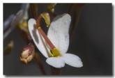 stylidium-miniatum-acd-237-web-copy