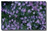 stylidium-muscicola-triggerplant-pp-797-web-copy
