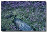 stylidium-muscicola-triggerplant-pp-798-web-copy