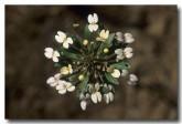 stylidium-rhynchocarpum-black-beaked-triggerplant-zn-292-web-copy