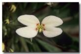stylidium-rhynchocarpum-black-beaked-triggerplant-zn-293-web-copy