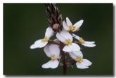 stylidium-scariosum-triggerplant-le-946-web-copy