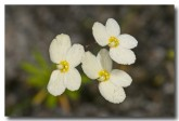 stylidium-sp-triggerplant-granite-peak-llj-470-web-copy