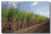 sugar-cane-ev-733-copy