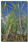sugar-cane-ev-743-copy