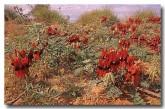 swainsona-formosa-sturt-desert-pea-ai-575-web-copy