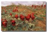 swainsona-formosa-sturt-desert-pea-ak-218-web-copy