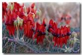 swainsona-formosa-sturt-desert-pea-ao-998-web-copy