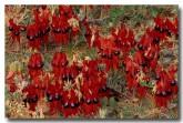 swainsona-formosa-sturt-desert-pea-xf-149-web-copy