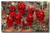 swainsona-formosa-sturt-desert-pea-xf-155-web-copy