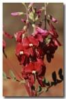 swainsona-maccullochiana-ashburton-pea-zl-408-web-copy