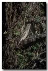 tawny-frogmouth-hc-453(1)