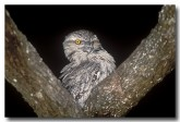 tawny-frogmouth-lc-392