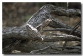 tawny-frogmouth-lgs-363