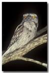 tawny-frogmouth-lk-098