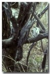 tawny-frogmouth-oo-068