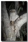tawny-frogmouth-pc-400