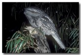 tawny-frogmouth-rb-020