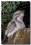 tawny-frogmouth-wrd-207