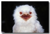 tawny-frogmouth-wrd-211