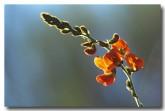 tephrosia-gardneri-glowing-flame-pea-pm-259-web-copy