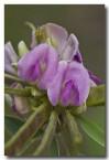 tephrosia-rosea-rosea-flinders-river-poison-abd-993-web-copy