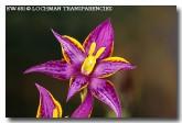 thelymitra-apiculata-cleopatras-needles-ew-681-copy