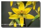 thelymitra-villosa-custard-orchid-ad-422-copy