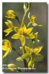 thelymitra-villosa-custard-orchid-ad-442-copy