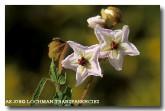 thomasia-grandiflora-fringed-thomasia-ae-378-copy