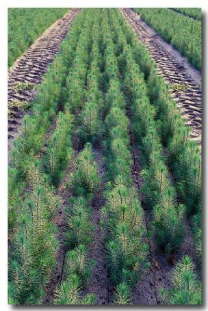 (AJ-522) Pine seedlings