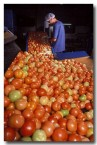 tomatoes-dw-566-copy