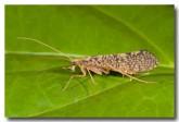trichoptera-atherton-llg-305-web-copy