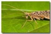 trichoptera-atherton-llg-306-web-copy