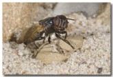 unknown-diptera-sp-lle-109-copy