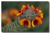 urodon-dasyphyllus-mop-bushpea-xc-127-web-copy