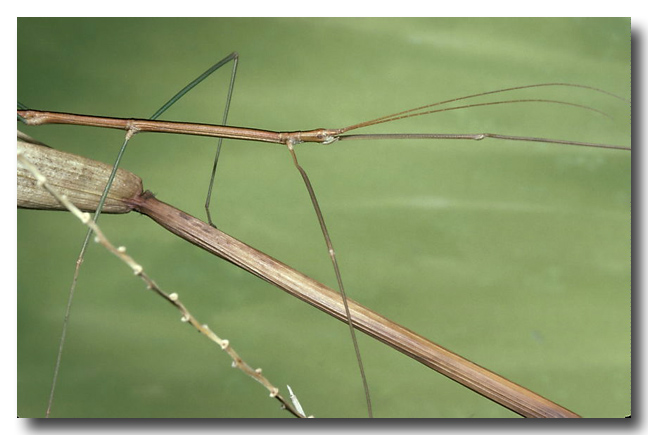 Walker's Stick-insect