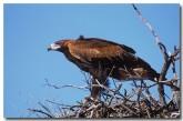 wedge-tail-eagle-rf-161-copy
